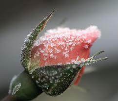 Image credit:  www.flowerpicturegallery.com